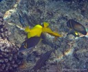A whitemouth moray eel with a lei triggerfish, yellow tang, moorish idol and whitespotted surgeonfish.
