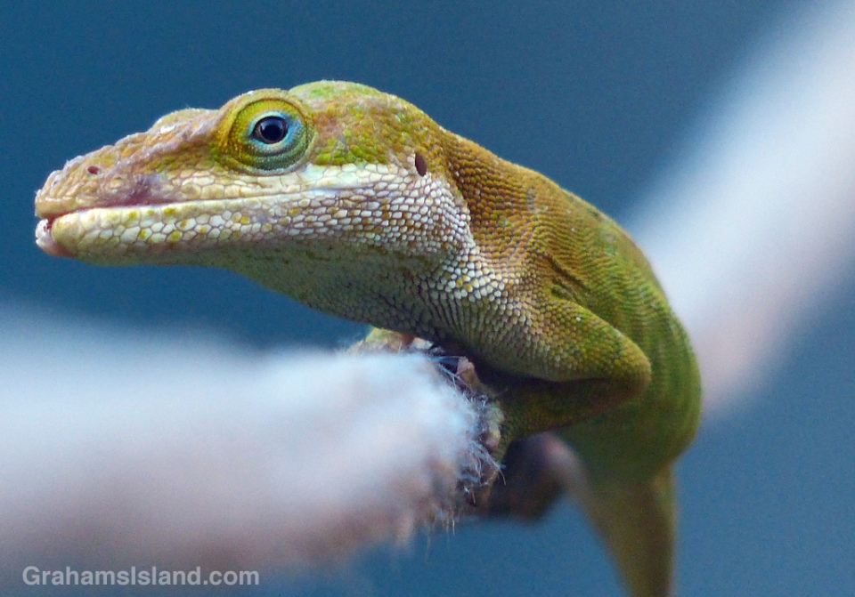 A green anole hangs onto a line.
