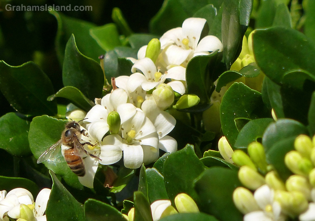 A bee forages through the blooms of a mock orange.