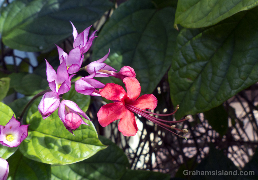 Glory bower (Clerodendrum thomsoniae), this is a colorful and vigorous vine.