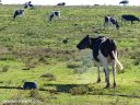 A cow cools off in water from an irrigation outlet