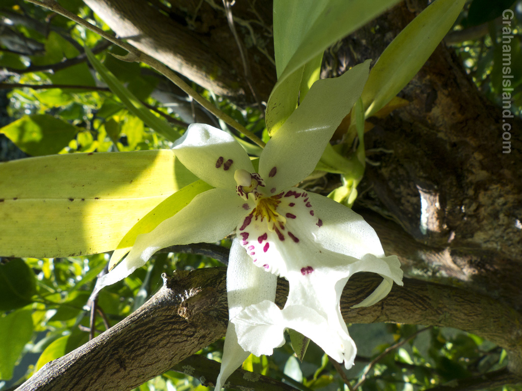 A Degarmoara Winter Wonderland 'White Fairy' orchid grows in the branches of a mandarin orange tree.
