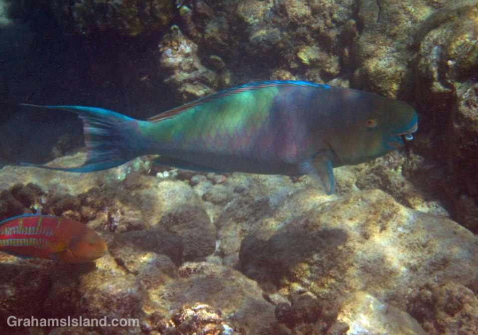 An ember parrotfish and christmas wrasse.