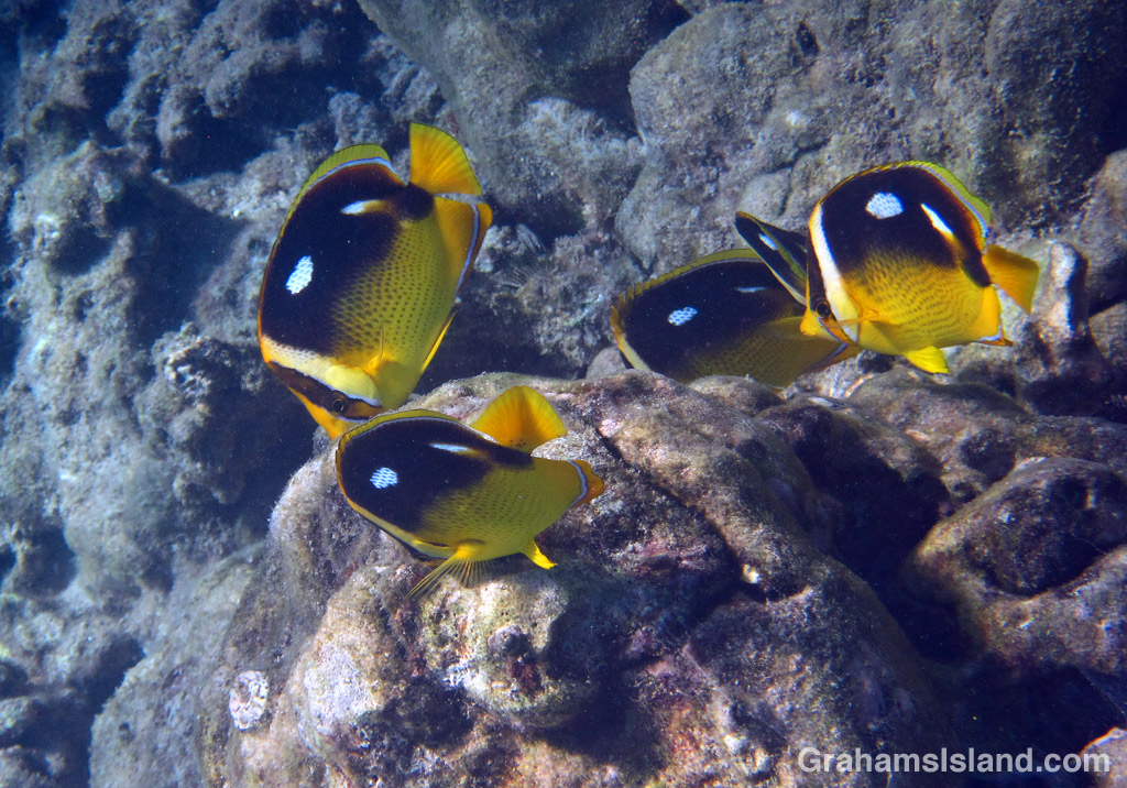 A group of Fourspot Butterflyfish