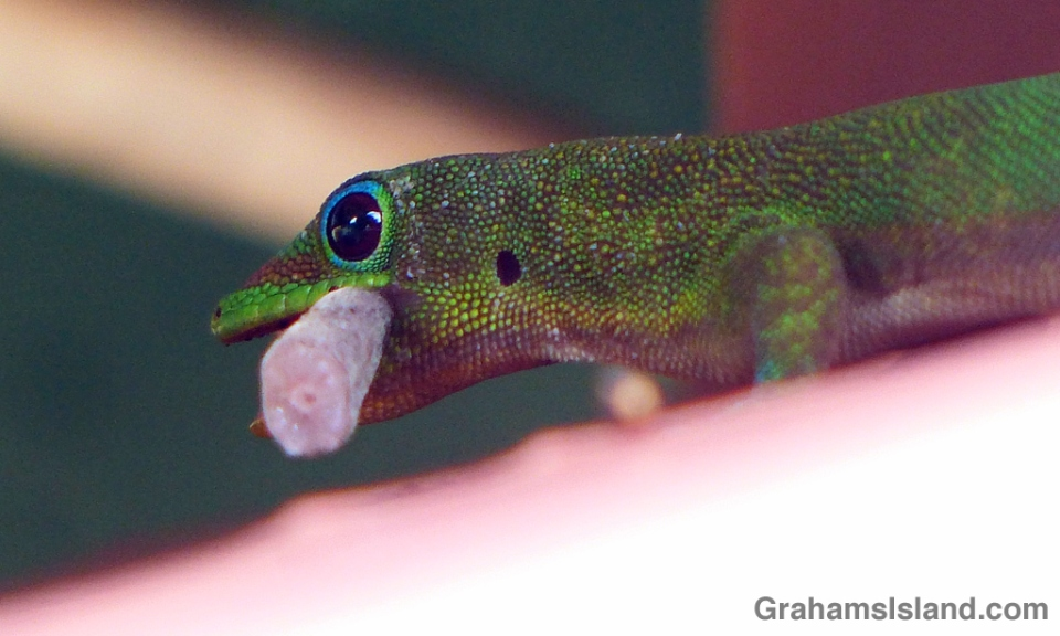 A gold dust day gecko with a trophy from a fight.