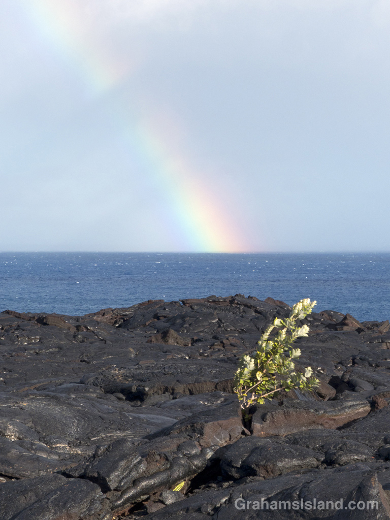 A shrub grows in a lava field