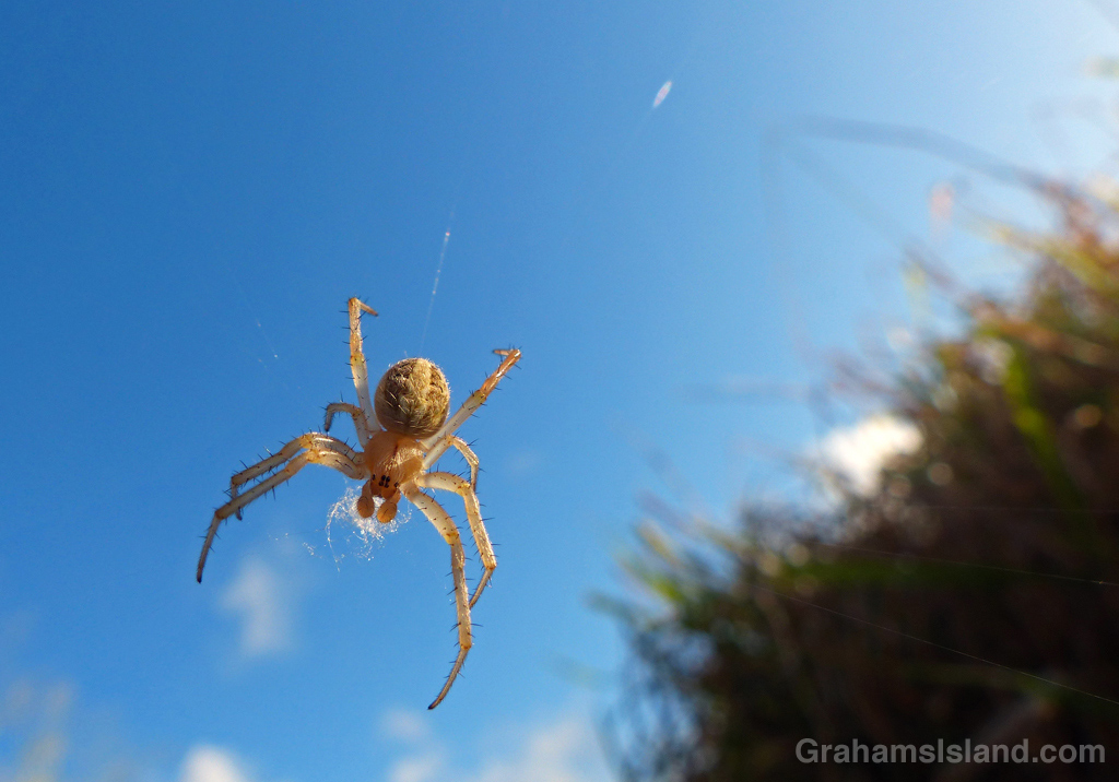 A neoscona theisi spider on the Big Island.