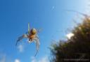 A neoscona theisi spider on the Big Island.