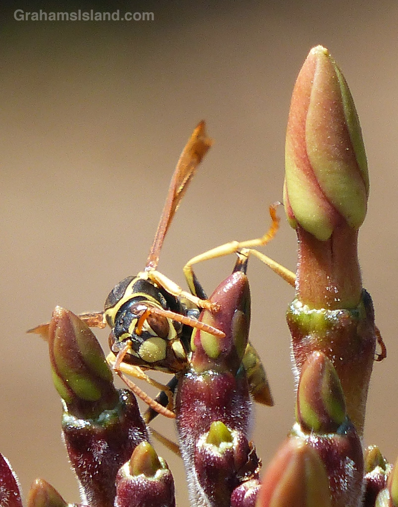 A paper wasp clambers over a budding plumeria.