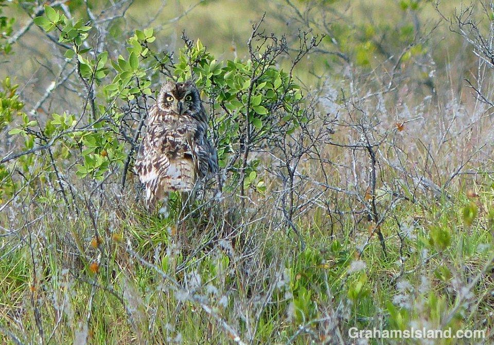 A Pueo, or Hawaiian short-eared owl, on the Big Island
