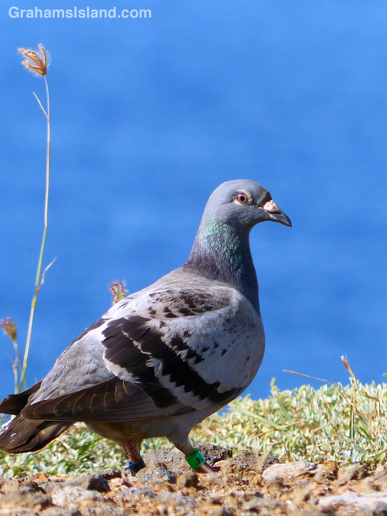 A racing pigeon wondering which way is home