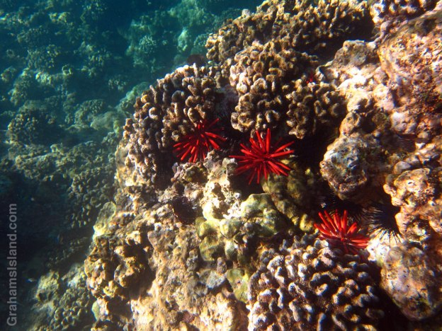 Red pencil urchins add striking color to the reef