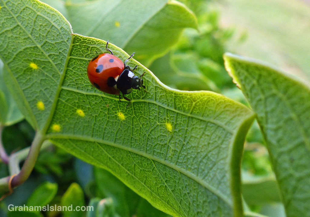 A seven-spotted lady beetle on a passion vine.