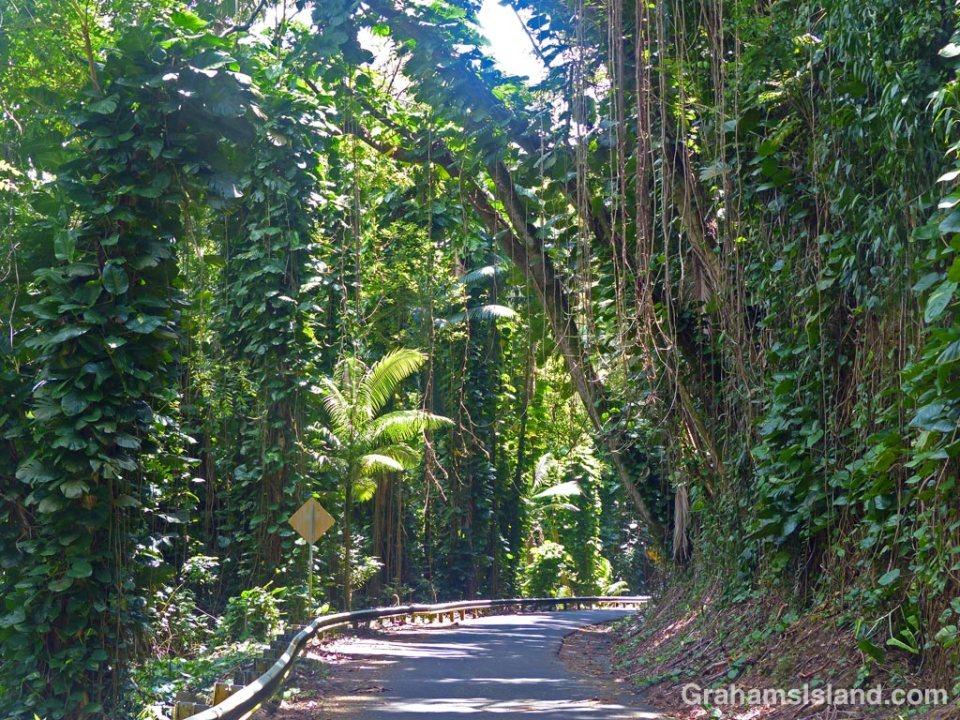 Dense tropical foliage borders a road on the Big Island.