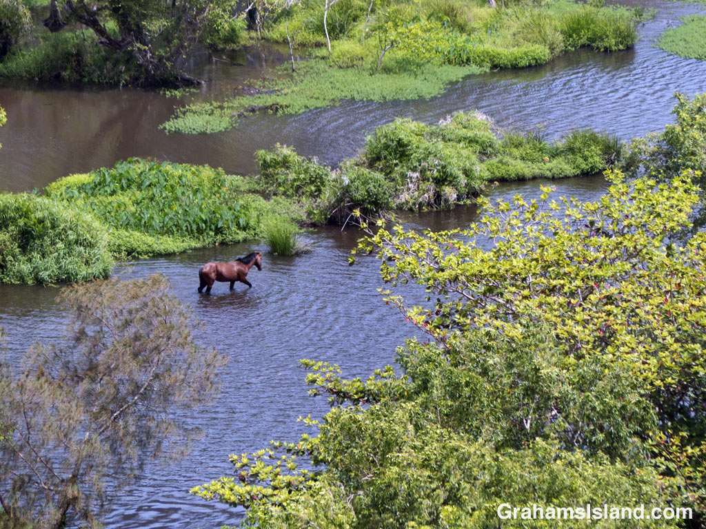 A horse wades through the sluggish waters of Waipi'o River in Waipi'o Valley.