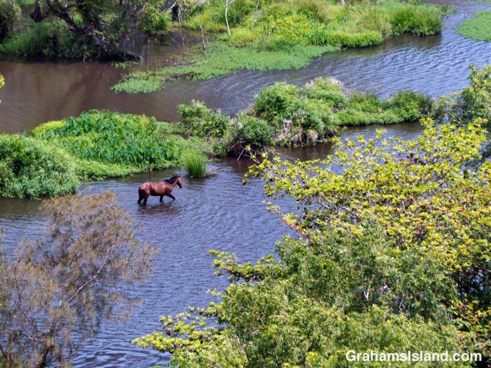 A horse wades through the sluggish waters of Waipi'o River in Waipi'o Valley.