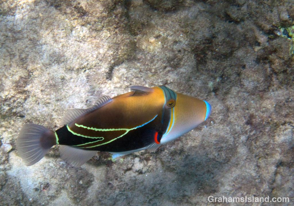 The Humuhumu-nukunuku-ā-pua-a is the state fish of Hawaii