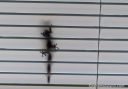 A gecko making its way up the outside of a window blind.