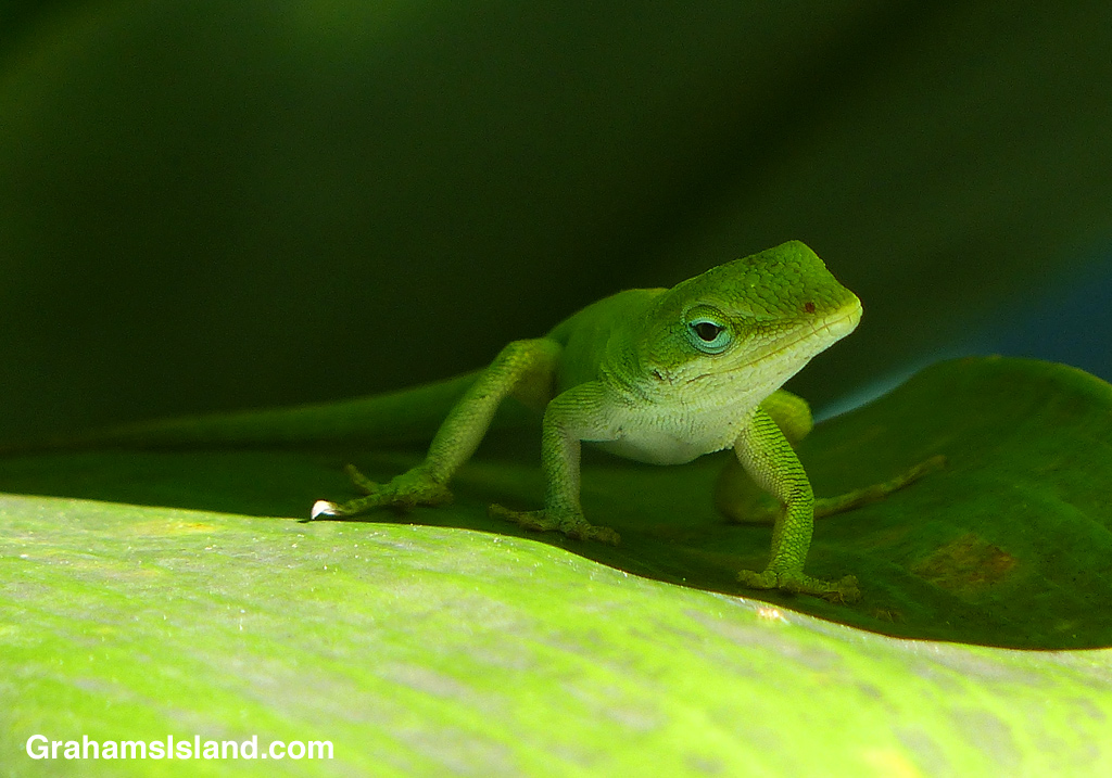 This green anole is keeping a watchful eye out from the shade of a ti plant.