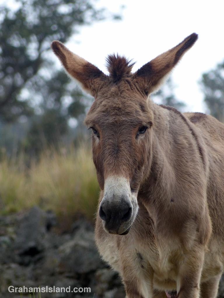 A donkey sporting a mohawk