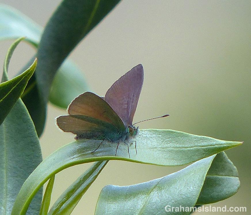 A Hawaiian blue butterfly in the Big Island