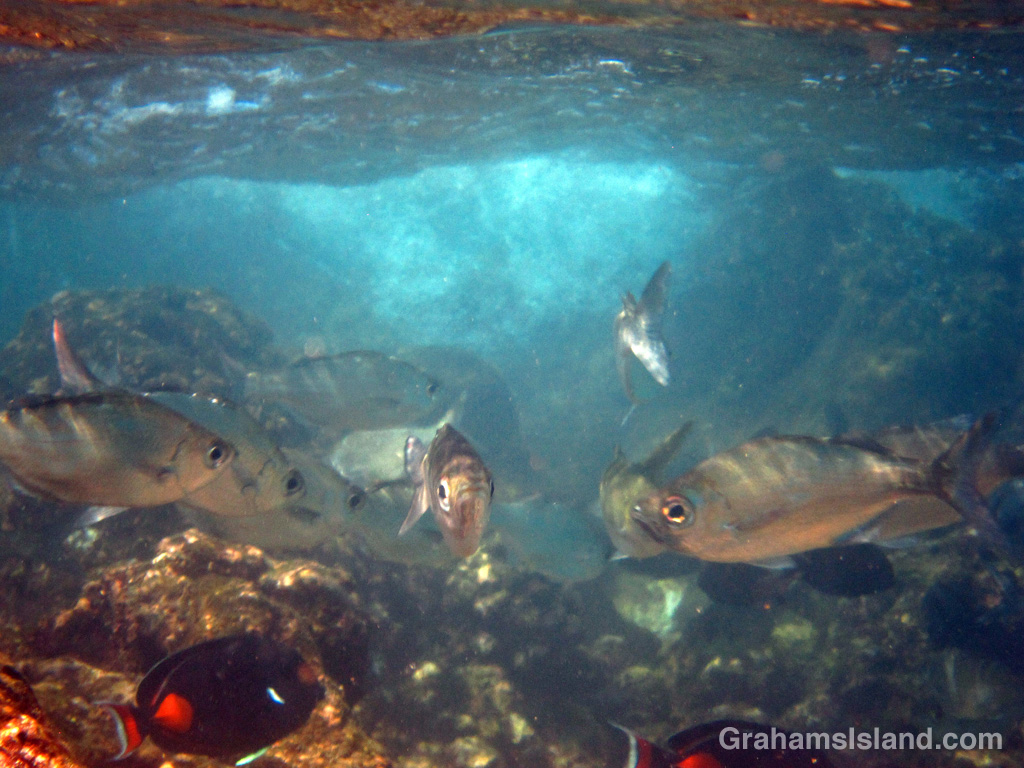 Hawaiian flagtails and achilles tangs in shallow surging water