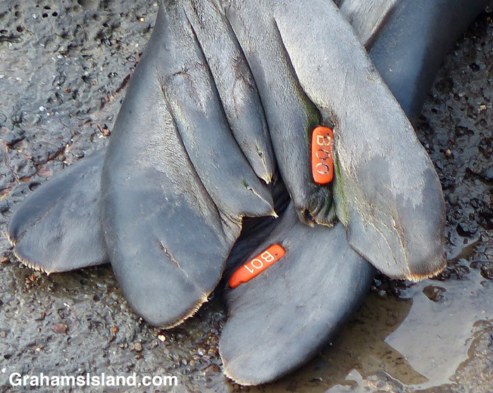 Identifying tags on the tail flippers of a Hawaiian monk seal,
