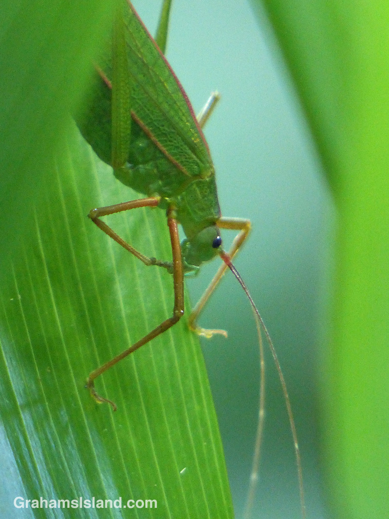 A katydid on the Big Island