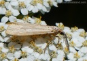 A Secusio extensa moth on a yarrow plant.