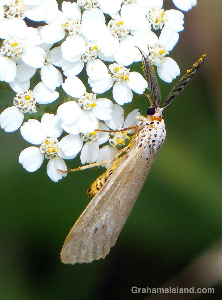 A Secusio extensa moth on a yarrow plant.