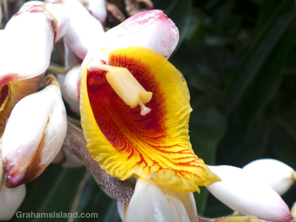 A shell ginger flower opens to reveal a striking red and yellow interior.
