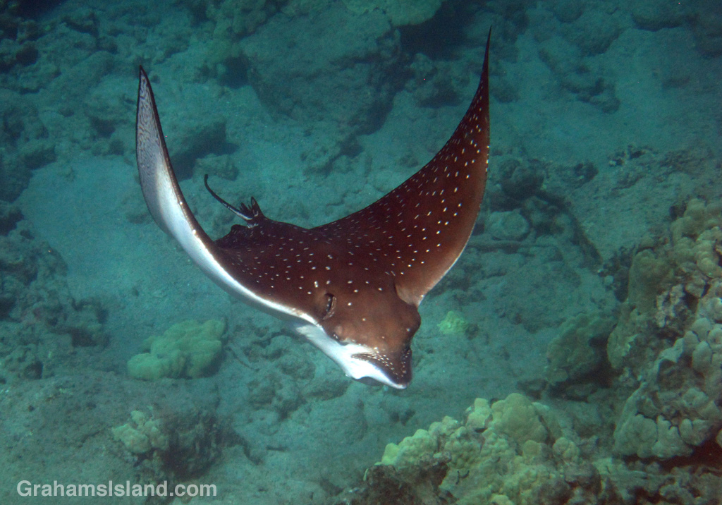 A spotted eagle ray swimming off the Big Island.