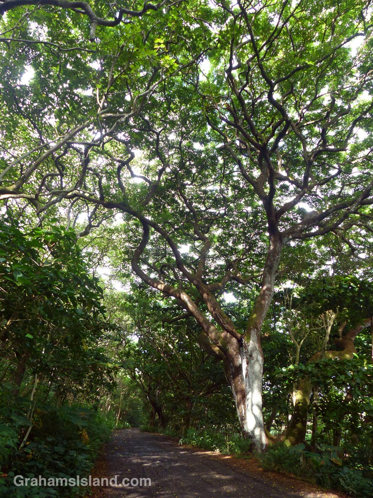 The road to the beach in Waipi'o Valley is lined with wonderful curly-branched trees.