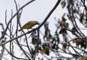 A yellow-fronted canary surveys the scene at the Palila Forest Discovery Trail on the lower slopes of Mauna Kea.