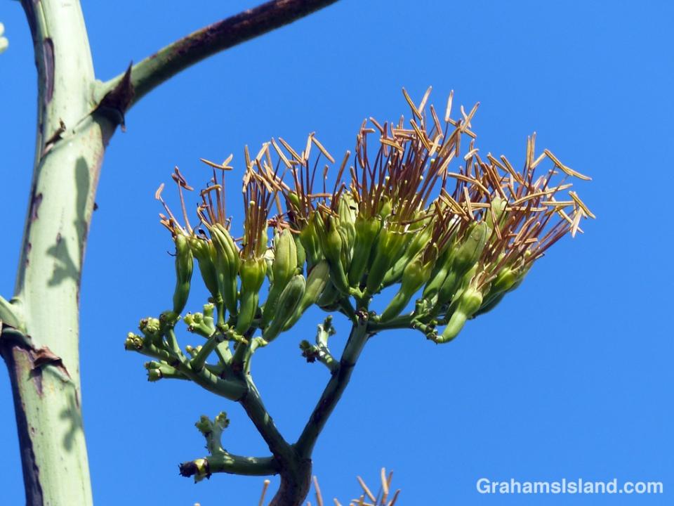 Agave sisalana flowers
