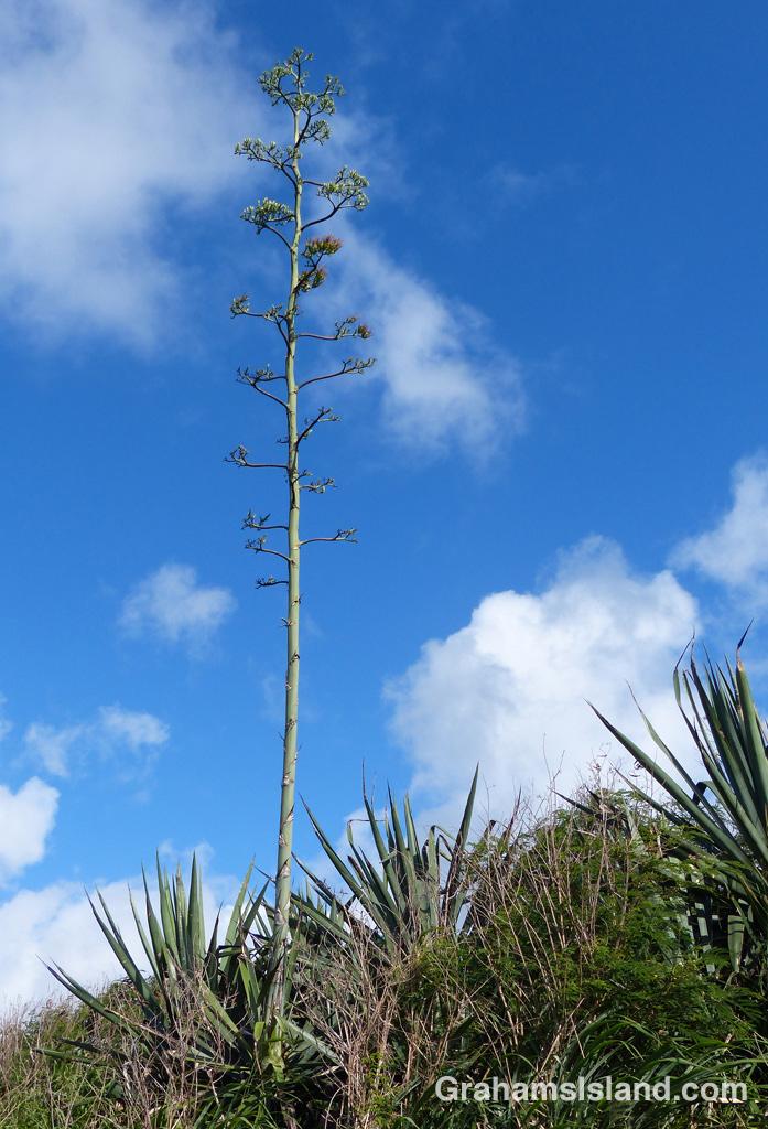 The flower stem of an agave sisalana