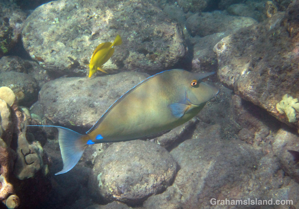 A bluespine unicornfish swims off the Big Island.