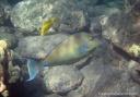 A bluespine unicornfish swims off the Big Island.