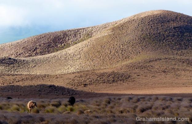 Cattle graze on dry grassland near Waimea.