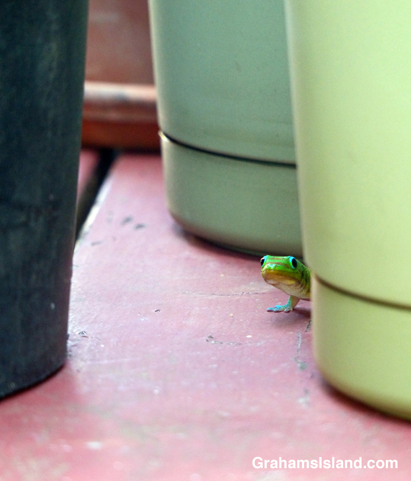 A gold dust day gecko peers out from behind a flowerpot.
