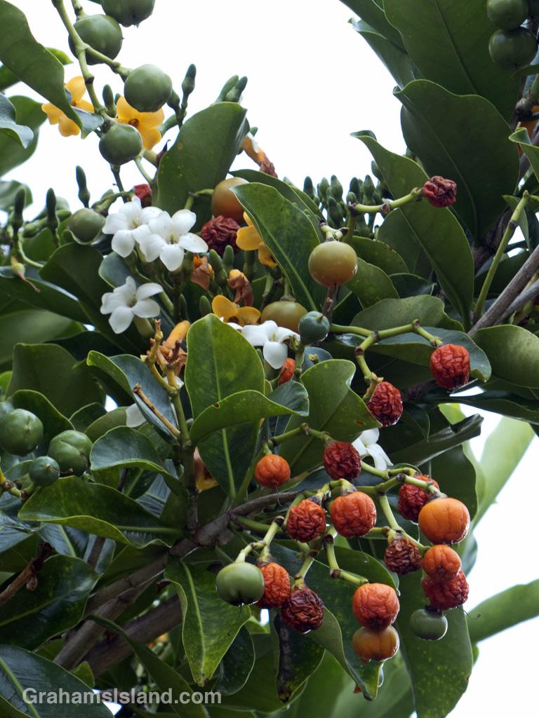 The flowers and fruits of a fagraea berteriana tree