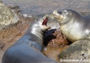 Two Hawaiian monk seals tussle in a tide pool.