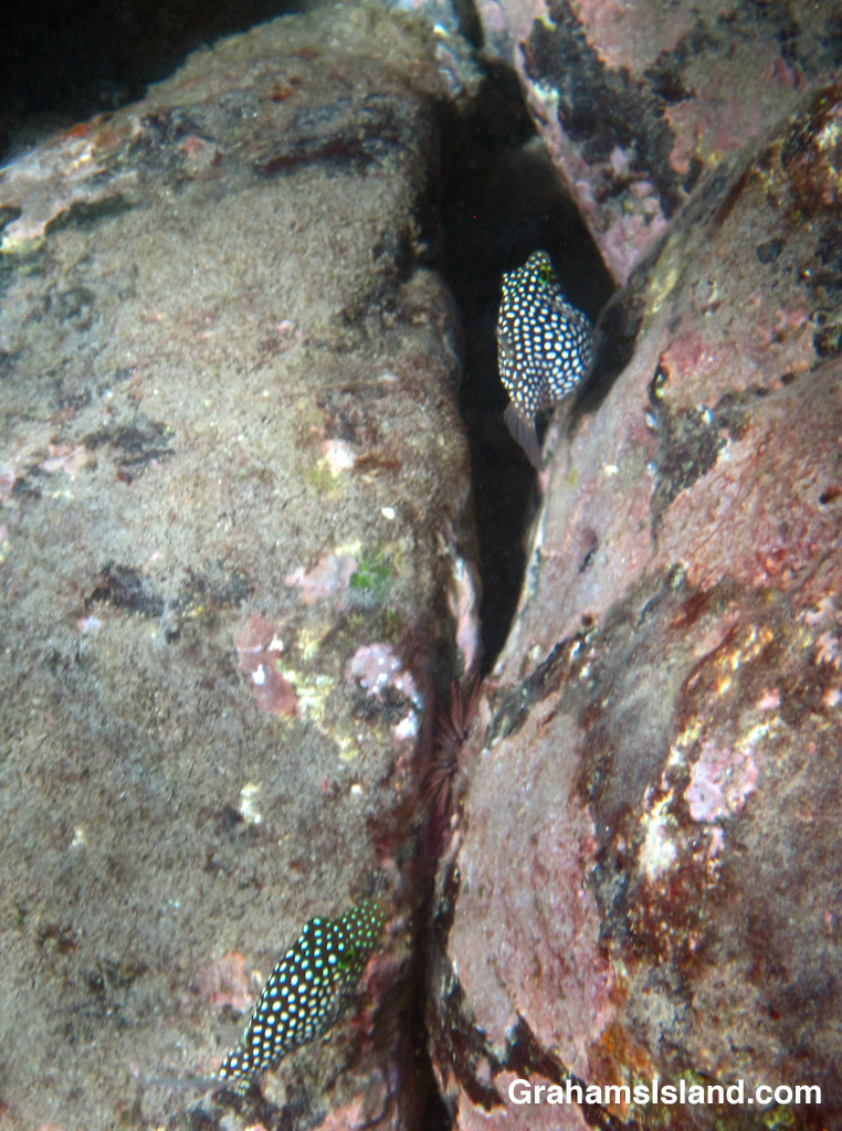 A pair of Hawaiian whitespotted tobies preparing to lay and fertilize eggs