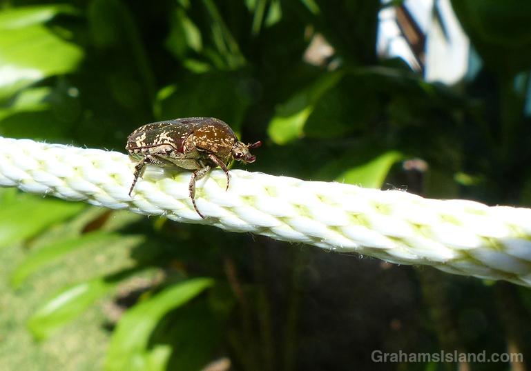 mango-flower-beetle