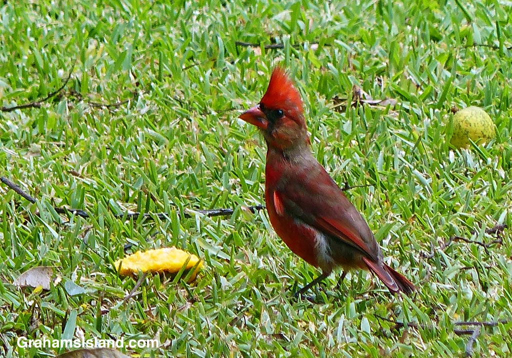 A northern cardinal stands over the remains of a mango