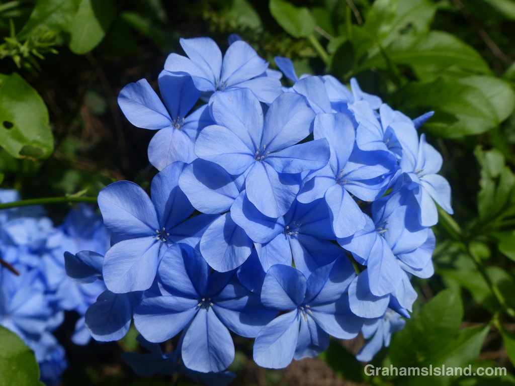 Plumbago auriculata is a fairly common shrub most notable for its stunning blue flowers.