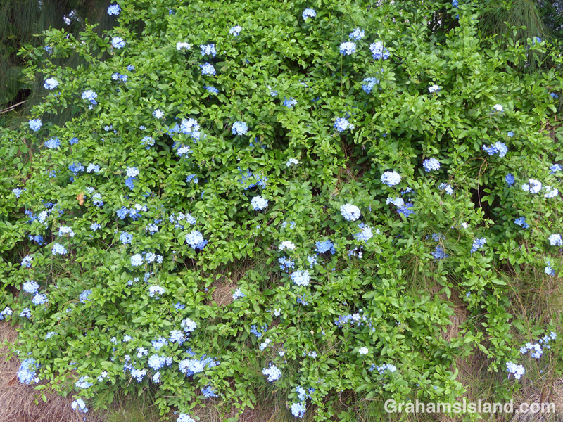 A Plumbago auriculata shrub with its stunning blue flowers.
