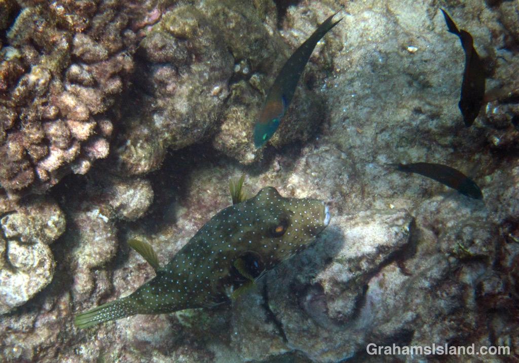 A stripebelly pufferfish