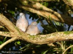 A pair of zebra doves perch on a mock orange branch