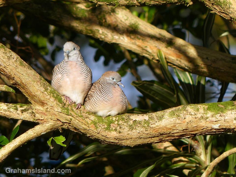 A pair of zebra doves perch on a mock orange branch